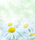 Summer background. Summer gentle background with red blooming daisies Stock Images