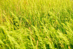 Summer background from a grass Royalty Free Stock Image