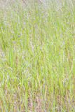 Summer background of green grass Royalty Free Stock Images