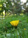 Summer background with green grass. Summer background with yellow flowers of dandelion in green grass royalty free stock images