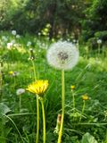 Summer background with green grass. Summer background with yellow flowers of dandelion in green grass stock image