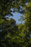 Summer background with green leaves on the tree and a blue cloudless sky royalty free stock images