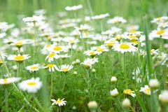 Summer background for greeting card with daisies. Daisies on the field with green grass. Healing herbs. Summer background for greeting card with daisies. Daisies stock photography