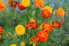 Summer background with growing flowers calendula, marigold. royalty free stock images