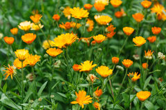 Summer background with growing flowers calendula, marigold. Bright summer background with growing flowers calendula, marigold Royalty Free Stock Image