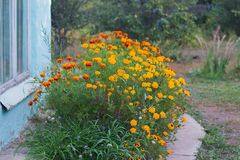 Summer background with growing flowers calendula, marigold. stock photos