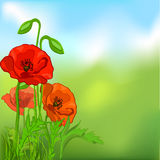 Summer background with poppies Royalty Free Stock Photo