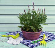 Summer background with purple sage in planting pot and garden tools. Vintage planting flowers concept, colorful summer background stock photography