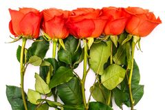Summer background with red roses and green stems. Green leaves and flowers on a white background. Place for text. View stock photography