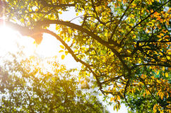 Tree with sun rays Stock Images