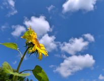 Summer background with sunflower over sky Stock Photos