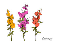 Summer background with Sweet pea Royalty Free Stock Photo