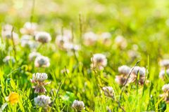 Summer background: white clover field lit by sunset light. Copy. Summer background: clover field lit by sunset light. Copy space. Selective focus royalty free stock photo