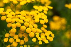 Summer background with yellow flowers of tansy. Summer background with yellow circular flowers of tansy stock photography