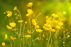 Summer background with yellow wildflowers Stock Photography