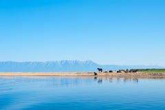 Summer Baikal scenery with horses Stock Photos