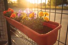 Summer balcony garden at sunset lighting: beautiful colorful Petunia flowers. Summer balcony garden at sunset lighting: beautiful colourful purple, magenta royalty free stock photography