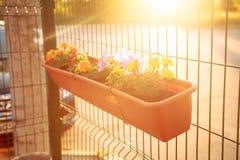 Summer balcony garden at sunset lighting: beautiful colorful Petunia flowers. Summer balcony garden at sunset lighting: beautiful colourful purple, magenta stock photos