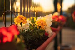 Summer balcony garden at sunset lighting: beautiful colorful Petunia flowers. Summer balcony garden at sunset lighting: beautiful colourful purple, magenta stock images