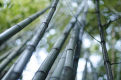 Summer bamboo trees close up. Beutifull bokhe and light, may be use as background Royalty Free Stock Photo