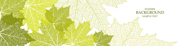Summer banner and leaves of a maple. For website Royalty Free Stock Photo