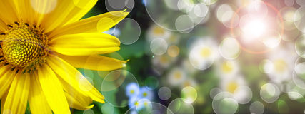 Summer banner with yellow daisy Stock Image