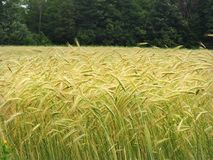 Summer Barley crop in front of green tree hedgerow Stock Images