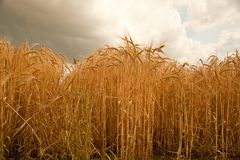 Summer barley crop in Lincolnshire,England. Stock Images