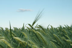 Summer  barley field Stock Photography