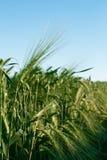 Summer  barley field Royalty Free Stock Photo