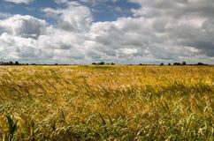 Summer Barley Field. Barley field in summer at Donna Nook,north Somercotes,Lincolnshire Royalty Free Stock Photo