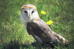 Summer Barn Owl Stock Images