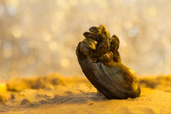 Summer beach. Closeup view on big mussel with many small mussels on a sand and river with sunlight spots as background at sunset. stock images