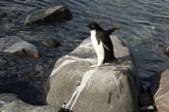 Adelie penguin on rocks royalty free stock photos