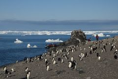 Adelie penguins on the beach with tourists in background royalty free stock image