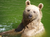 Summer bear bath Royalty Free Stock Images