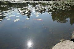 Carp koi in the garden`s pond. stock images