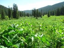 Summer beauty of the Siberian taiga stock image