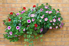 Summer bedding flowers in a wall mounted basket. Stock Photos