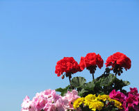 Summer Bedding Plants. A colorful display of bedding plants: pelargonium, impatiens, and tagetes against a background of blue sky, with copy space Stock Image