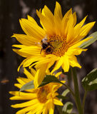Summer Bee. Bumblebee on a sunflower, Summer scene, Nature pollination royalty free stock photos