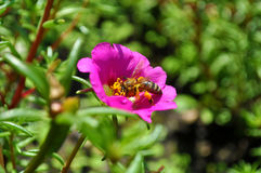 Summer bee 2. Naturalism - one of the finest types of photos. Macro insect summer Royalty Free Stock Photography