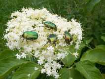 Summer beetle. A spring beetle sits on a elder on a background a green lawn Royalty Free Stock Photo