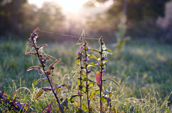 Summer bellflower with dewy spider-web in morning light Royalty Free Stock Photography