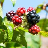 Summer Berries. A macro shot of some bramble berries stock images