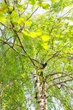 Summer birch Stock Photography