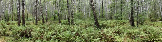Summer birch forest royalty free stock image