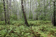 Summer birch forest Royalty Free Stock Photography