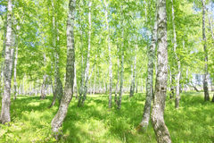 Summer birch forest Royalty Free Stock Images