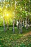 Summer birch forest Stock Photo